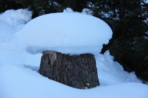 winterse bospaddestoel